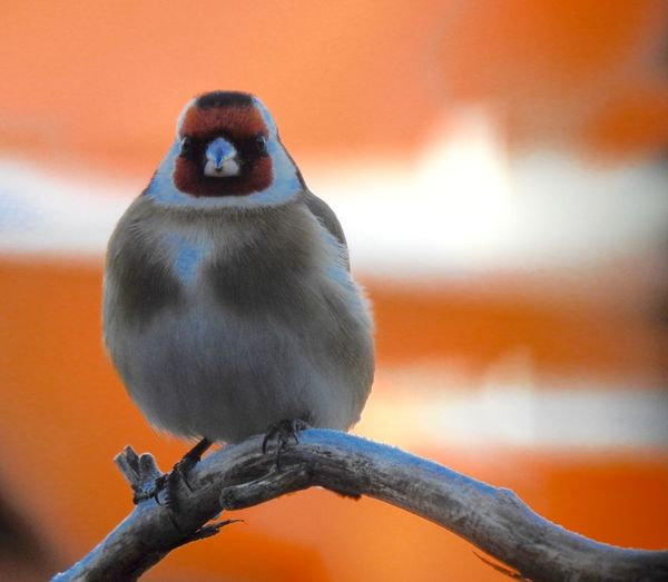 Animal Themes Animal Wildlife Animals In The Wild Beauty In Nature Bird Close-up Day Focus On Foreground Nature No People One Animal Orange Color Outdoors Perching Songbird  Sunset Tengelic