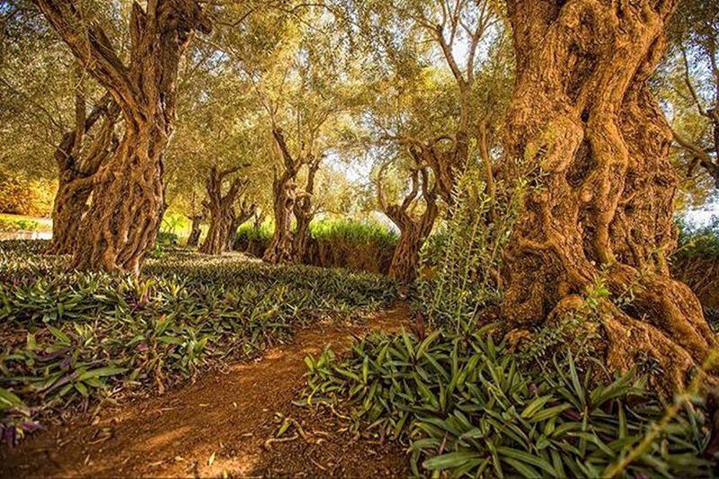150 years old olive trees HazemJ Olivetree Green Old Jordan Amman Jo Shareyourjordan VisitJordan DiscoverJordan Kimpenskideadsea Deadsea