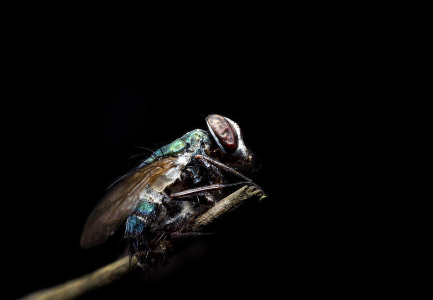 Fly Insect carcasses on black Animal Animal Body Part Animal Eye Animal Head  Animal Mouth Animal Themes Animal Wildlife Animal Wing Animals In The Wild Black Background Close-up Copy Space Full Length Indoors  Insect Invertebrate Marine Mouth Open Nature Night No People One Animal Portrait Studio Shot