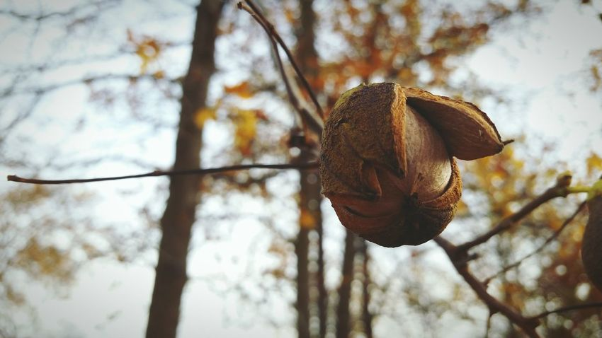 EyeEm Selects Focus On Foreground Tree Nature Day Low Angle View No People Outdoors Close-up Branch Sky Beauty In Nature Fragility Nut - Food Hickory Nut Suspended Autumn The EyeEm Collection