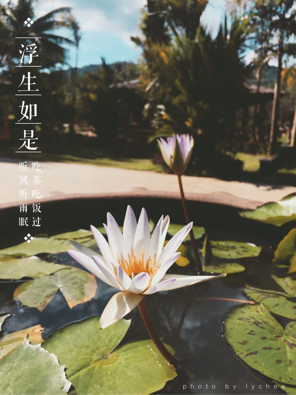 beauty in nature, pond, nature, flower, growth, plant, petal, freshness, fragility, outdoors, no people, day, water, close-up, water lily, flower head, leaf, lotus water lily, tree