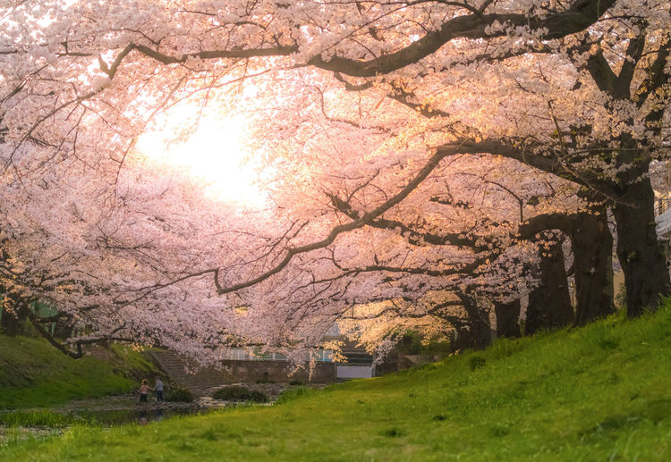 View of cherry blossom trees on field