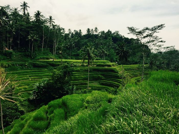 Agriculture Bali, Indonesia Day Green Color Growth Landscape Nature Rice Field Terraced Field
