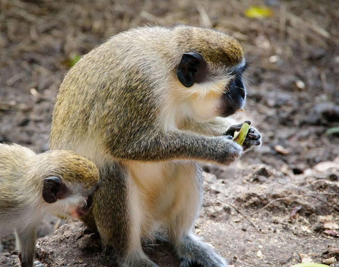 Green Monkey Animal Animal Family Animal Themes Animal Wildlife Animals In The Wild Care Day Eating Field Focus On Foreground Group Of Animals Land Mammal Monkey Nature No People Primate Sitting Togetherness Two Animals Vertebrate Young Animal