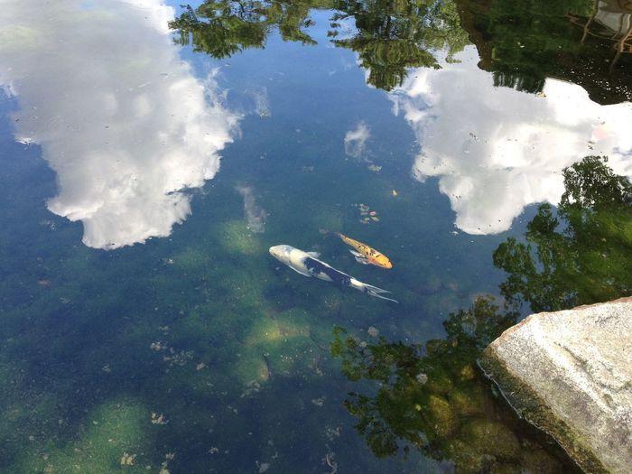No People Lake Swimming Animal Cloud - Sky Fish Carp Day Reflection Water Japan Japanese  Japanese Garden Tokugawaen EyeEmNewHere