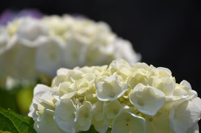 Flower Porn Flowers Flower Hydrangea 紫陽花 White Flower Flower Head White Nature Naturelovers Nature Photography Flower Collection Flowerporn お散歩Photo 旬の花😊