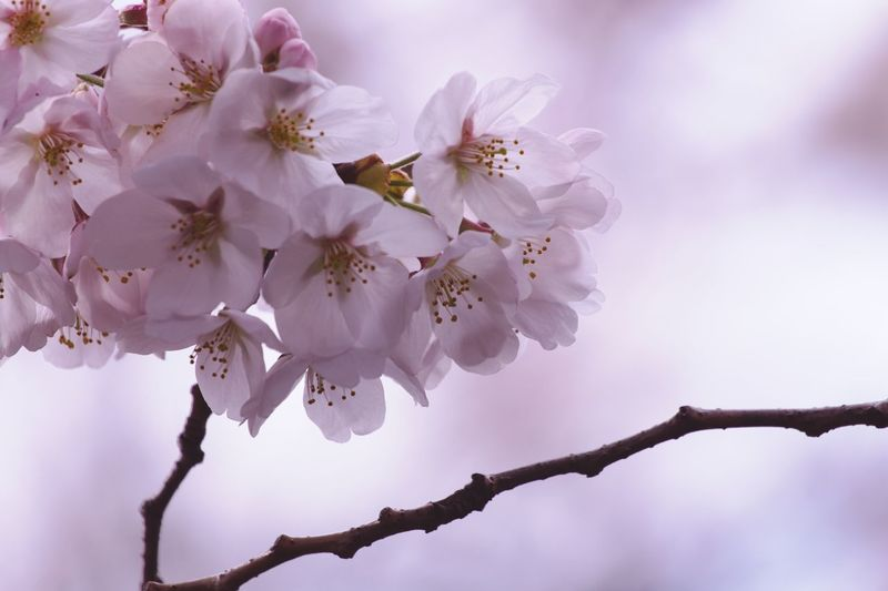 Blossom.Ⅰ Nature Pentax Photographyislife Spring Has Arrived Flower Head Tree Flower Branch Springtime Pink Color Blossom Close-up In Bloom