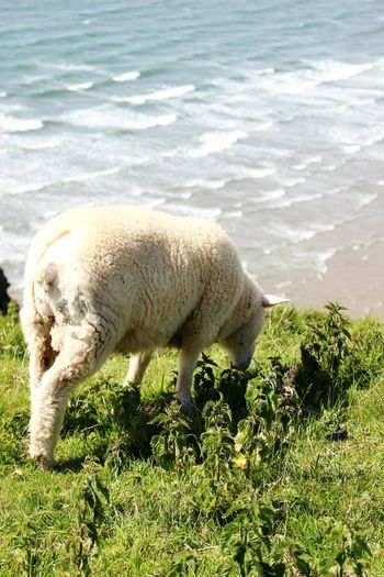 Bum Sheep Sea Sea And Sky Waves Pasture Flock Of Sheep Grazing Lamb Herbivorous Livestock Tag Livestock