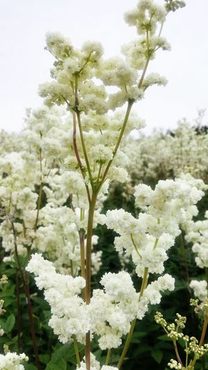 White Flowers Beautiful Nature Countryside Blooming Flower White Field Of Flowers