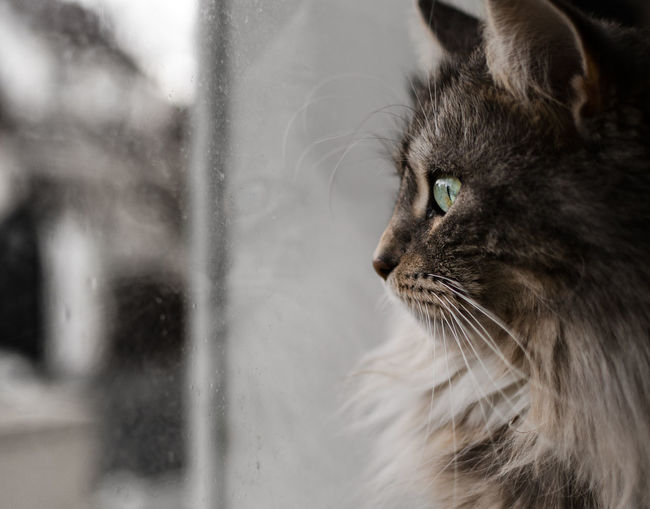 One Animal Close-up Animal Body Part Animal Themes Animal Head  Mammal Domestic Animals Domestic Cat No People Indoors  Pets Feline Day Cat Portrait Standing Looking Indoors  Beauty Mainecoon Majestic Creature Majestic The Portraitist - 2018 EyeEm Awards Capture Tomorrow