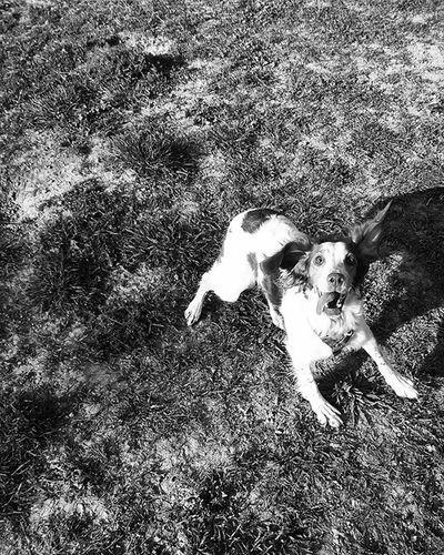 Playing ball is the best ! Hada Brittanyspaniel Brittaniesofinstagram Rescuedog Dogsofinstagram Blackandwhite Bnw Blackandwhitephotography