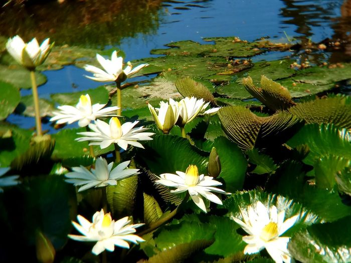 Beauty In Nature Close-up Flower Flower Head Flowering Plant Freshness Lake Leaf Lotus Water Lily No People Water