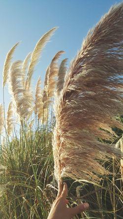 pampas🌾 Antalya Beach Ruzgar Ruzgargulu Wind Wind Power Pampasgras🌱 Sazpüskülü Plant Nature Beauty In Nature People