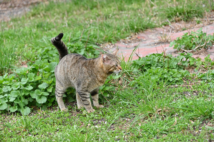 One domestic cat in green grass, looking away Mammal One Animal Nature No People Domestic Animals Pets Day Domestic Outdoors Domestic Cat Cat Animals In The Wild Animal Wildlife Green Color Field Land Grass Plant Looking Away Copy Space Side View Profile View Feline Full Length Full Length Portrait Alertness Animal Behavior