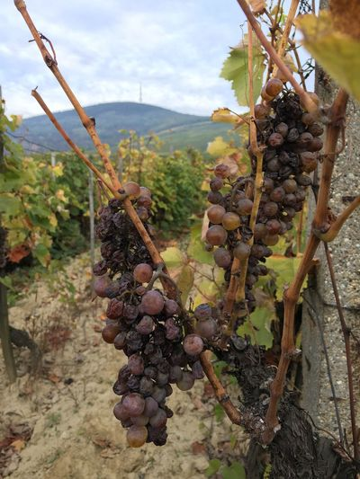 Grape Vineyard Bunch Growth Fruit Nature Agriculture Plant Food And Drink No People Hanging Tree Winemaking Day Beauty In Nature Vine - Plant Rural Scene Outdoors Healthy Eating Close-up