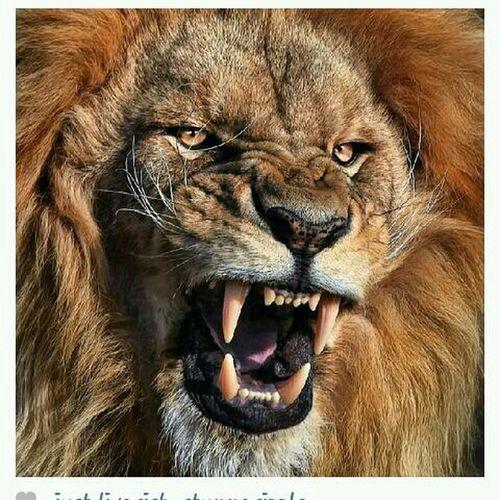 Dis Lion