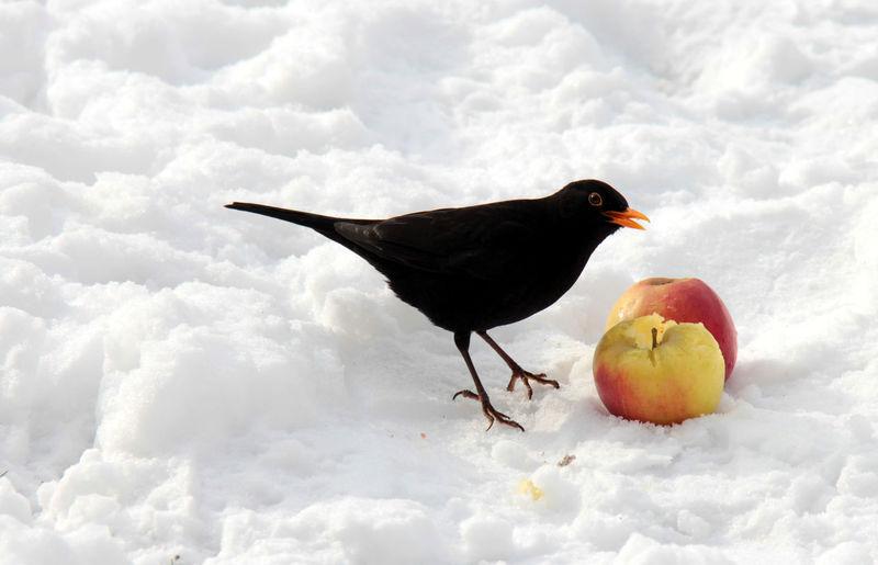 Blackbird feeding on apples at snow covered field