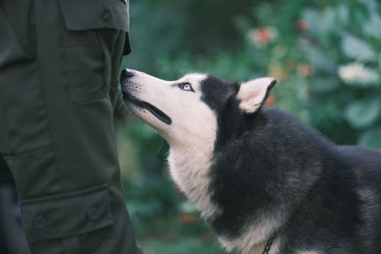 Siberian husky of person with dog standing on field