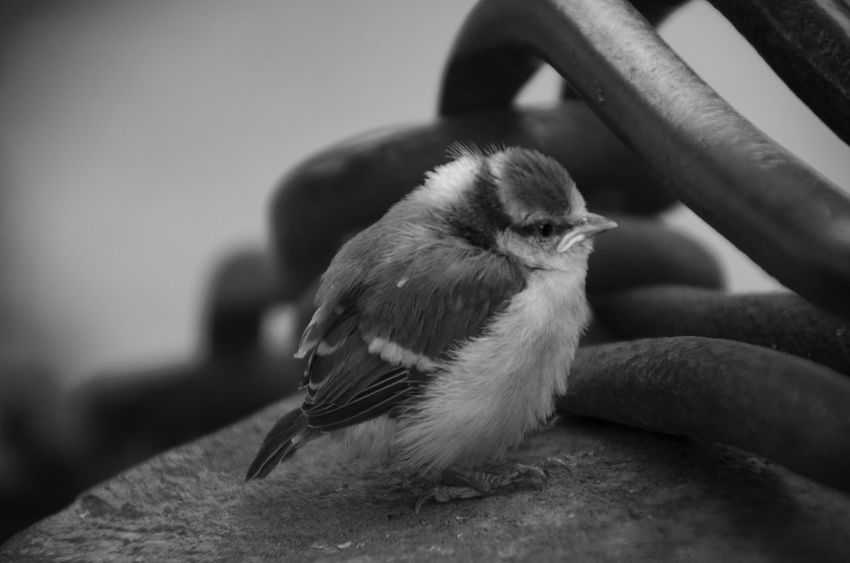 Black & White Animal Animal Themes Animals Animals In The Wild Bird Black Black And White Black And White Photography Black&white Blackandwhite Blackandwhite Photography Close-up Day Domestic Animals First Eyeem Photo Focus On Foreground Mammal Nature No People One Animal Outdoors Perching Young Animal Young Bird Pet Portraits