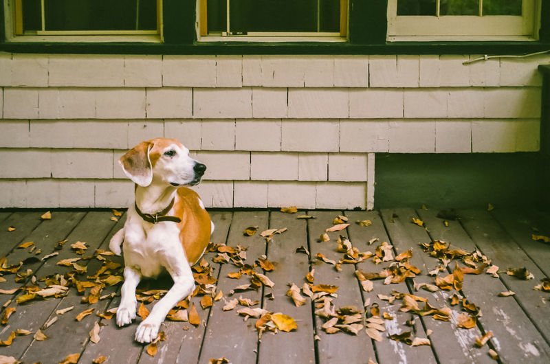 Dog day afternoon, sitting on porch with autumn leaves