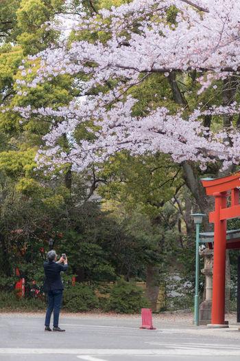 Sakura player.