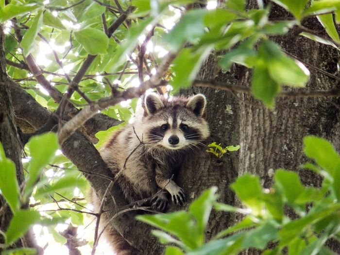 Racoon Georgia United States Outdoor Animals In The Wild Animal Wildlife Wildlife Wildlife & Nature Nature
