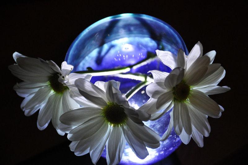Chamomile flowers in illuminated vase against black background