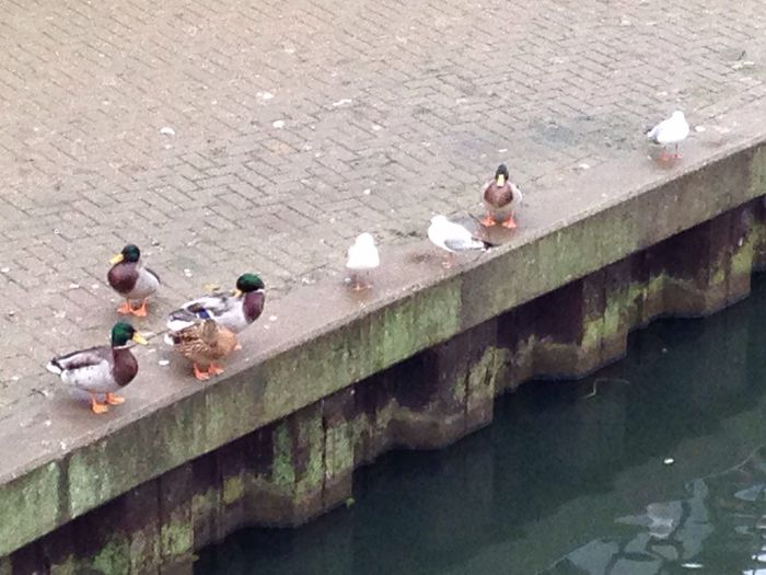 Adapted To The City Duck Tribe No People No Filter No Edit Outdoors Rver Nene Northampton