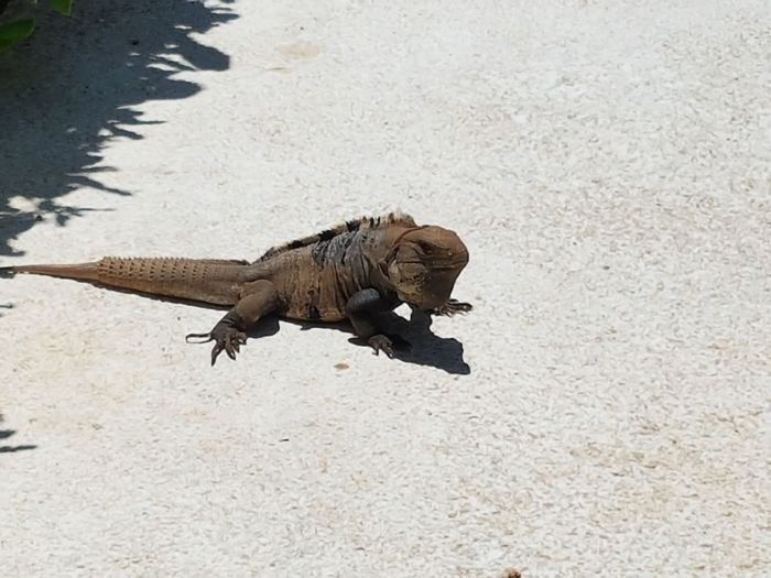 CancunMexico🌙 2016♡ Mexico Wildlife Lizard Check This Out Taking Photos Grand Oasis