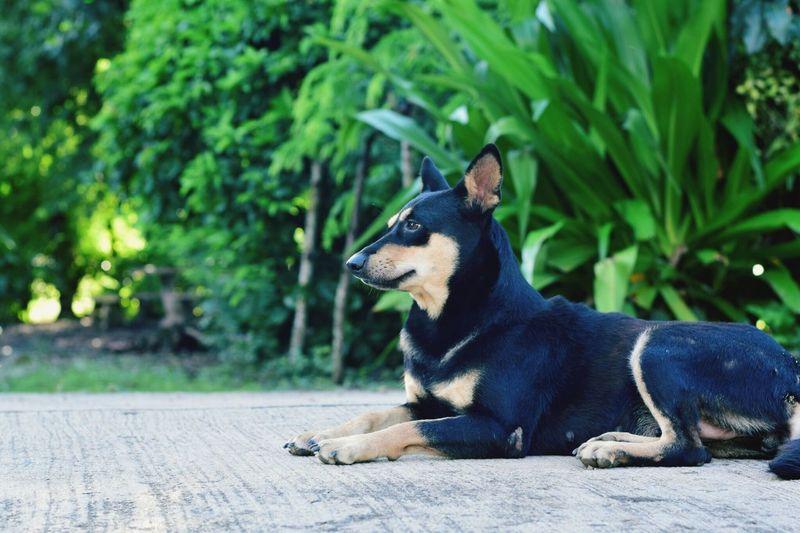 Dog Resting On Footpath Against Plants