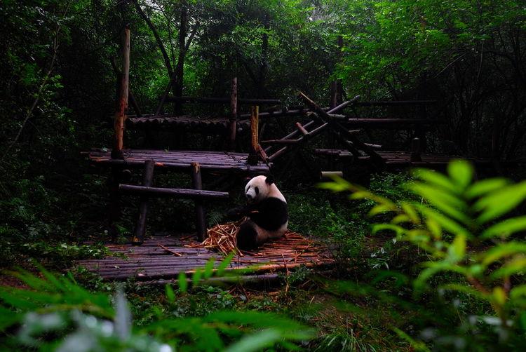 熊猫 熊猫 Panda Animal Themes