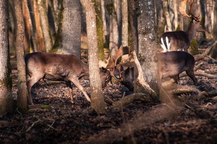 Fallow deer fighting during rut period