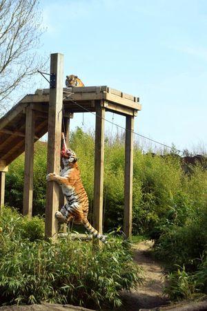 Zoo Outdoors Animal Tiger Sun Summer Grass Feeding Animals Feeding Time Colchester Zoo Colchester