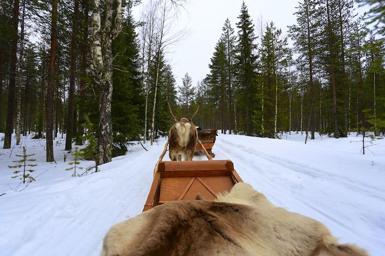 Enjoying the winter landscape near Rovaniemi, Finland in a reindeer sleigh ride Snow Mammal Winter Animal Themes Animal Domestic Cold Temperature Domestic Animals Warm Clothing Outdoors Land Finland Reindeer Sleigh Sledge Ride Forest First Person View