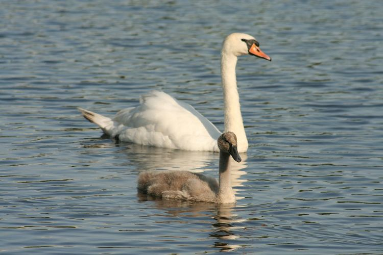 Side view of swan in calm water