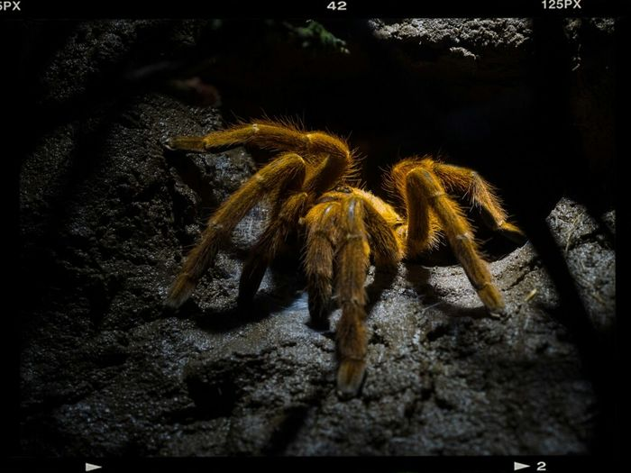 Animals Spider Tarantula