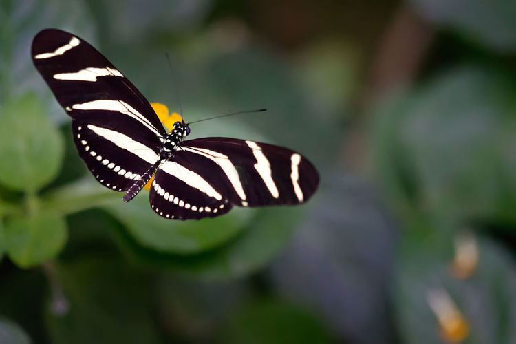 Butterfly - Insect Striped Zebra Longwing Butterfly Heliconius Charithonia Animal Wing Outdoors Close-up No People Fragility The Week On EyeEm
