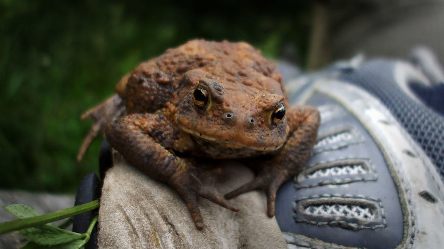 Animal Close Up Close-up Frog Frosch Kröte One Animal Outdoors Toad