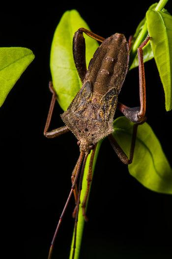 Coreid bug,
