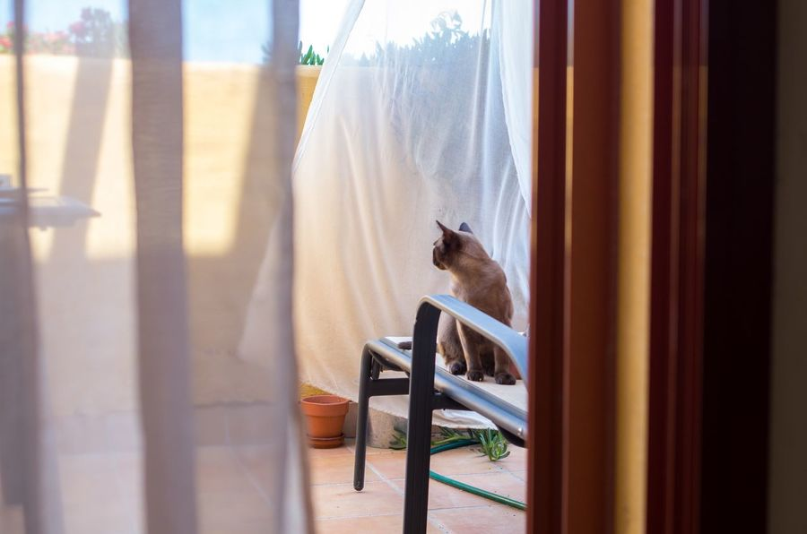 Animal Themes Brown Burmese Cat Cat Curtain Day Domestic Animals Looking Away Pets Sunny Terrace Warm Day Young Cat