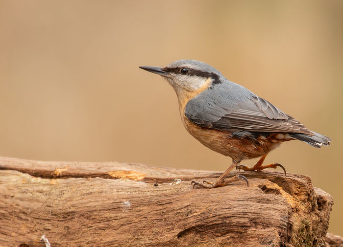 Keeping an eye out Nuthatch Nuthatch On Branch Animal Wildlife Animals In The Wild Bird Close-up Day Focus On Foreground Full Length Looking Nature No People One Animal Outdoors Perching Profile View Selective Focus Side View Wood - Material