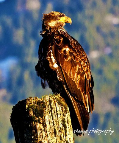 Flying High Bird Bird Of Prey One Animal Eagle - Bird Animals In The Wild Animal Wildlife No People Animal Themes Day Outdoors Close-up Bald Eagle Perching Mobile Conversations EyeEm Gallery EyeEm Flying High Travel Destinations Harrison Hot Springs Beauty In Nature