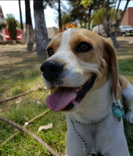 Beagle Beagles  Beaglelovers Beaglelove Beagleoftheday Cute Cute Pets Fun Dog Pet