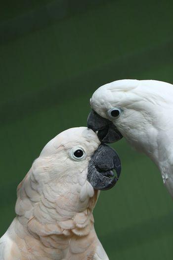 Close-up of white umbrella cockatoos