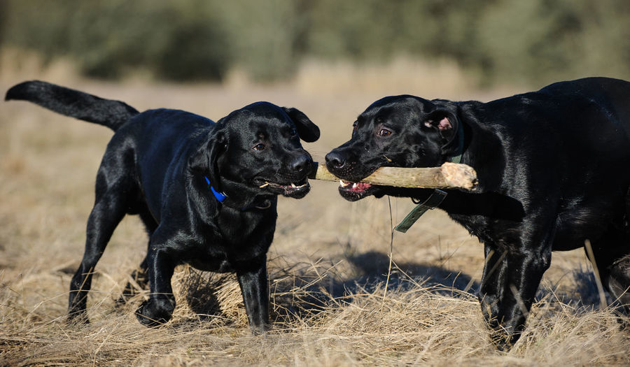 Black Labrador Retriever dog Animal Theme Animal Themes Black Black Lab Canine Day Dog Field Lab Labrador Retriever No People Outdoors Retriever Two Animals
