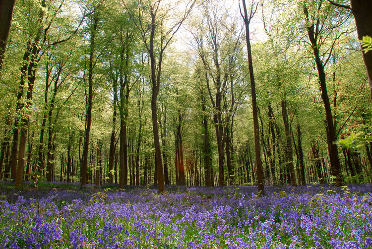 Spring bluebells in Wiltshire, England Beauty In Nature Bluebells Britain Colour Purple English Countryside English Woodland EyeEmNewHere Landscape Plants Springtime Springtime Flowers Wide Angle WoodLand