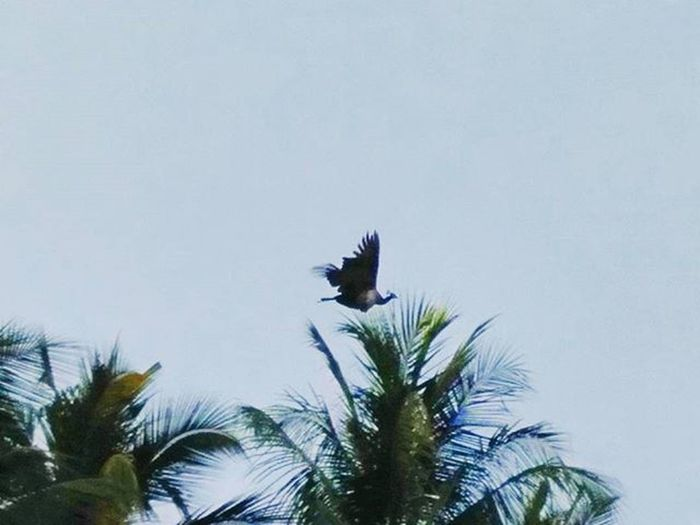 My 200th post is a special one with the rare pic of a peacock flying high in the sky....📷 Peacock Nationalbird Flying Sky Skyporn Bluesky Tree Coconut Naturephotography Nature Naturelovers Instagram Mothernature Natureislife _soi Picoftheday Photogenic  Follow Indianphotography Photography Photographers_of_india Udupi Nammaudupi