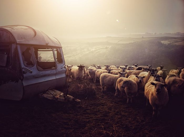 The gathering Cold Temperature Sunset Winter Sky Flock Of Sheep Livestock Large Group Of Animals Livestock Tag