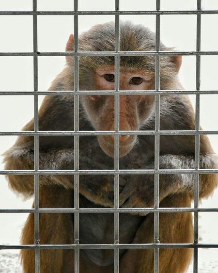Baboon Baboons Animal Zoo Prison Wildlandsadventurezoo Wildlands  Emmen