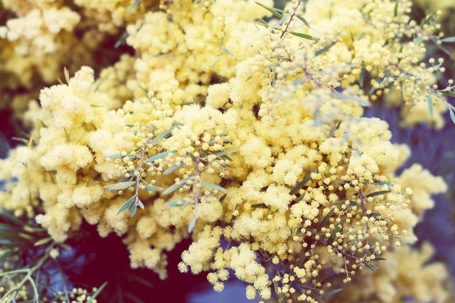 Pastel Power Mimosa Flowers Flowerporn Yellow Yellow Flower Yellow Flowers Pastel Colors Pastel EyeEm Italy EyeEm Flower